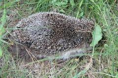 Hedgehog. Little hedgehog hide in green grass  in warm summer day Stock Image