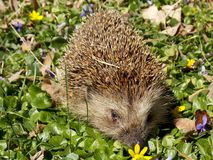 Hedgehog. Little hedgehog in the meadow full of flowers Royalty Free Stock Photography
