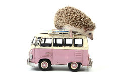 Hedgehog on a little toy car. Stock Photography