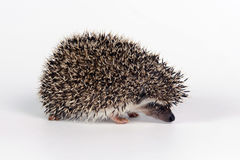 Hedgehog Stock Images
