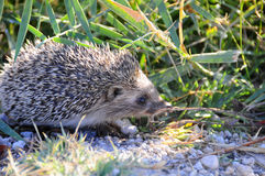 A Hedgehog is looking for eating something in the nature royalty free stock images