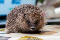 Hedgehog looking straight at camera lens Royalty Free Stock Photos