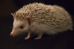 Hedgehog. Lovely hedgehog sitting in black Royalty Free Stock Image
