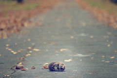 Hedgehog lying at autumn park Royalty Free Stock Images