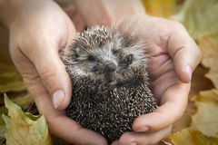 Hedgehog in male hands on a background of autumn leaves Royalty Free Stock Photos