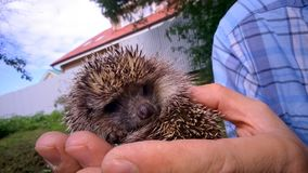 Forest hedgehog in the hands Royalty Free Stock Images