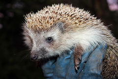 Hedgehog in the man's hand Royalty Free Stock Photo