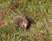 Hedgehog in the meadow. Around looking for something to eat. Wild animal Royalty Free Stock Images