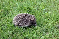 Hedgehog in a meadow. Hedgehog Erinaceus europaeus on grass close-up Royalty Free Stock Photography