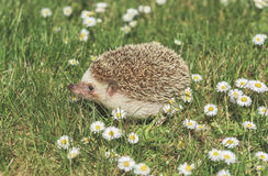 Hedgehog on the meadow with flowers Royalty Free Stock Photography