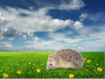 Hedgehog on the meadow. With yellow flowers Stock Photos