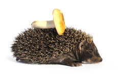 Hedgehog with mushroom Royalty Free Stock Image
