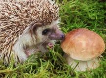 Hedgehog with mushroom, macro Stock Image