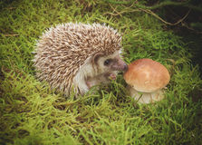 Hedgehog with mushroom Stock Photo