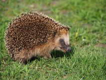 Hedgehog with muzzle close-up royalty free stock photography