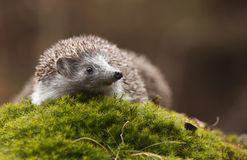 Hedgehog na floresta Imagens de Stock Royalty Free