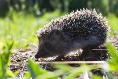 Hedgehog na floresta foto de stock