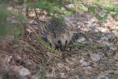 Hedgehog na floresta Fotografia de Stock