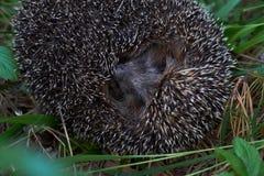 Hedgehog na floresta Imagens de Stock