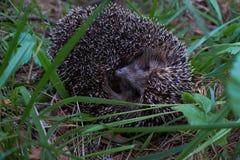Hedgehog na floresta Fotos de Stock