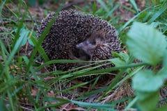 Hedgehog na floresta Imagem de Stock