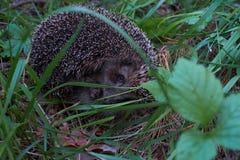 Hedgehog na floresta Foto de Stock Royalty Free