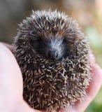 Hedgehog nas mãos Fotografia de Stock Royalty Free