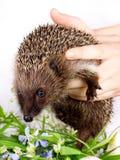 Hedgehog, nas mãos da pessoa Imagens de Stock