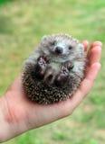 Hedgehog nas palmas Fotos de Stock