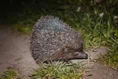 Hedgehog in natural Stock Photos