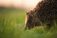 Hedgehog in natural habitat in beautiful evening light Royalty Free Stock Images