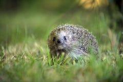Hedgehog in natural habitat royalty free stock image