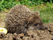 Hedgehog in nature Stock Image