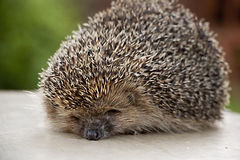 Hedgehog in nature. Small hedgehog animal in nature Stock Images