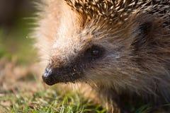 Hedgehog  needle wild animal close up Royalty Free Stock Photo