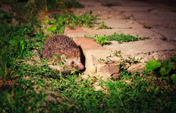 Hedgehog at night Stock Photography