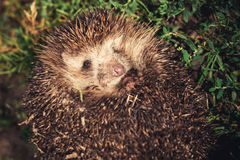 Hedgehog at night Stock Image