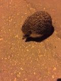 Hedgehog night on the road stock photo