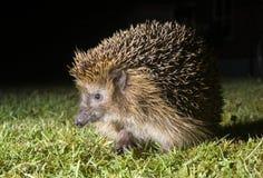 Hedgehog no jardim Imagem de Stock Royalty Free