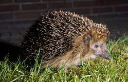 Hedgehog no jardim Foto de Stock