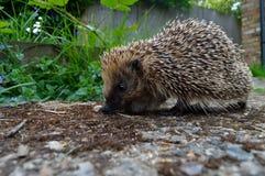 Hedgehog no jardim fotos de stock