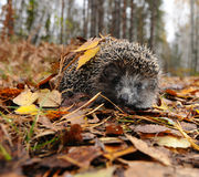 Hedgehog no outono Fotografia de Stock