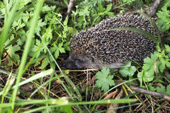 Hedgehog novo Imagens de Stock Royalty Free