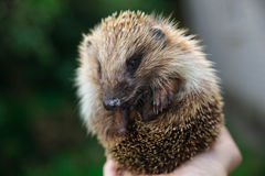 Hedgehog novo Foto de Stock Royalty Free