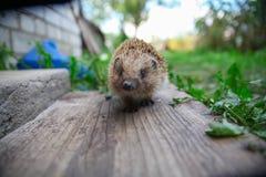 Hedgehog novo Imagens de Stock