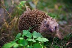 Hedgehog novo Fotografia de Stock Royalty Free