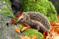 Hedgehog On Moss Stock Image