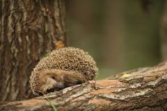 Hedgehog ona brown fir tree Stock Images