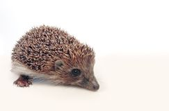 Hedgehog over white Royalty Free Stock Photography
