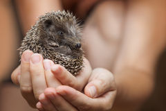 Hedgehog in the palms Stock Photography